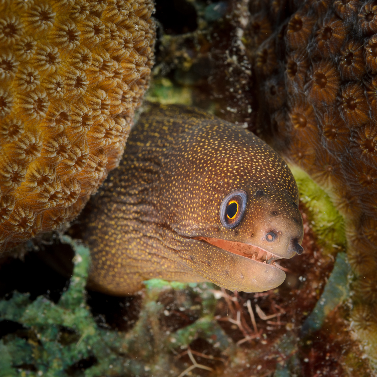 Goldentail Moray Eel, Bonaire