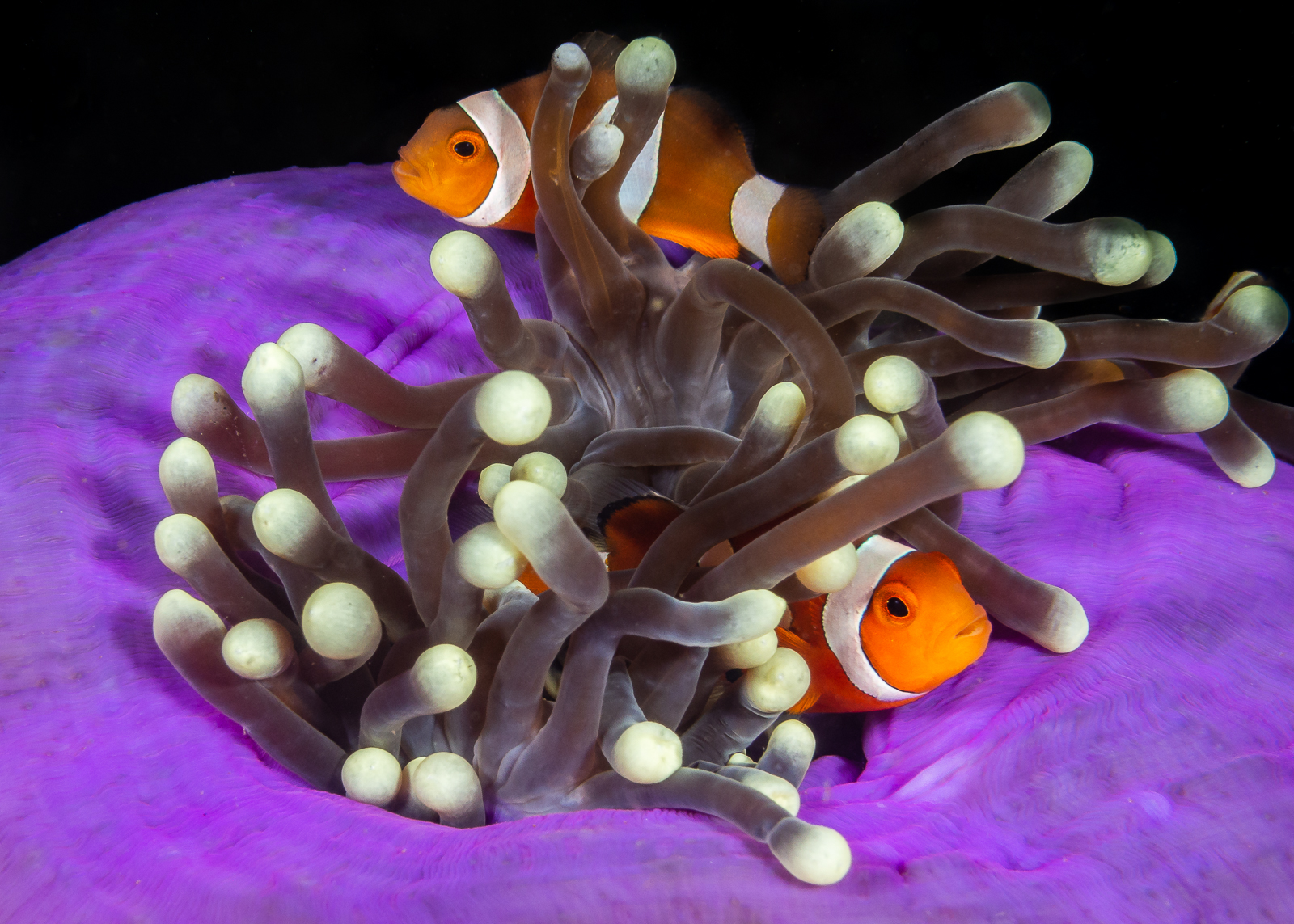Clownfish and purple anemone