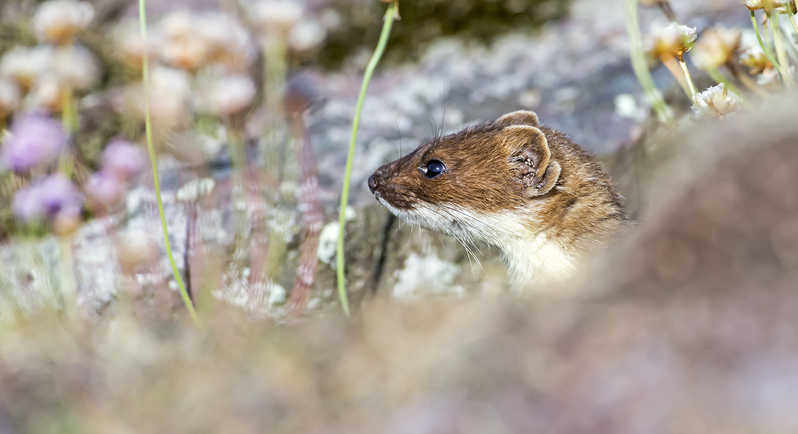 Stoat in cover