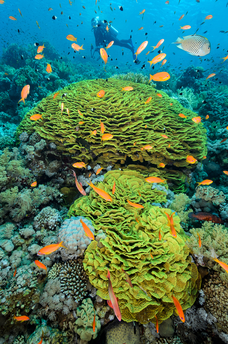 Lettuce corals and diver