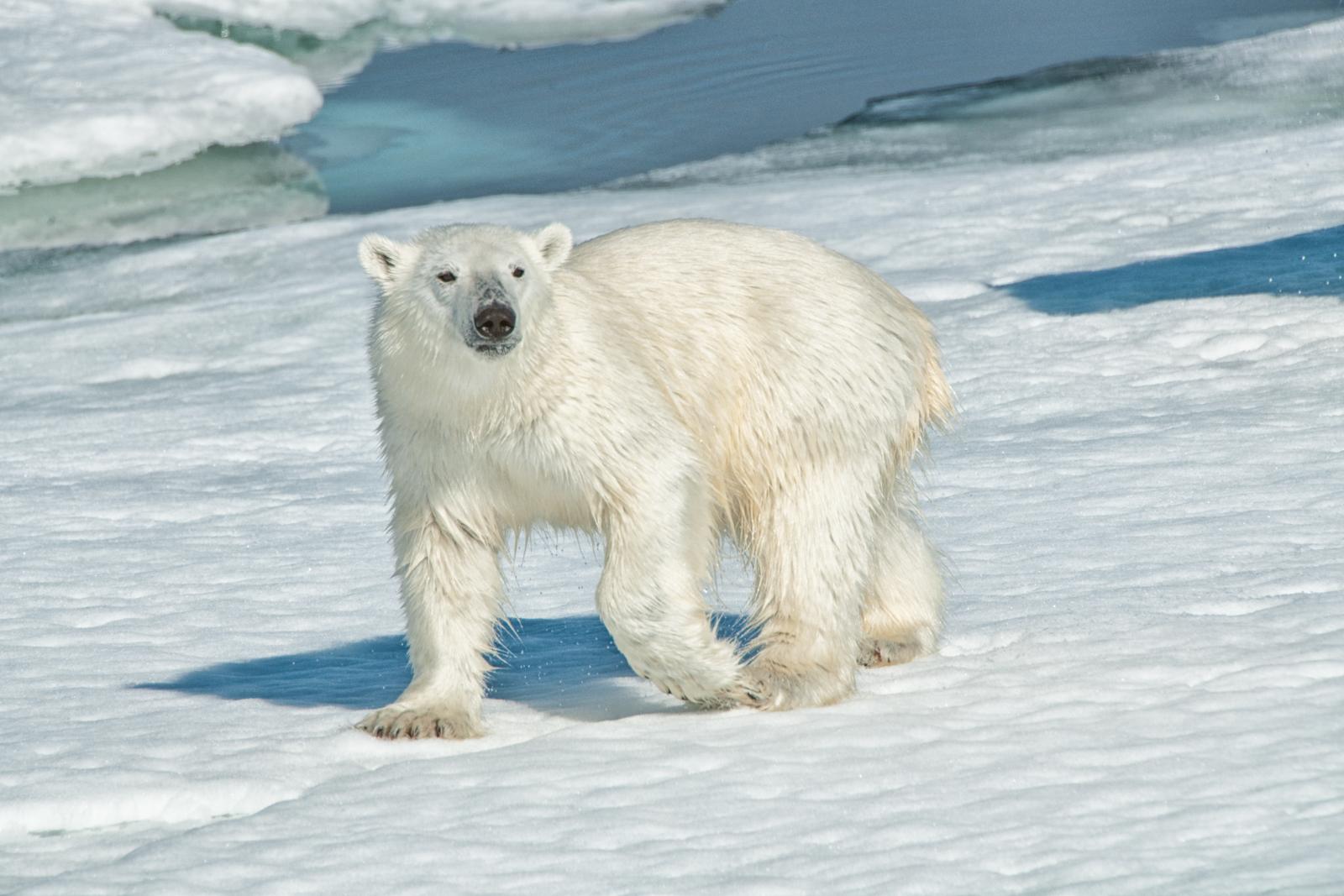Svalbard polar bear cub