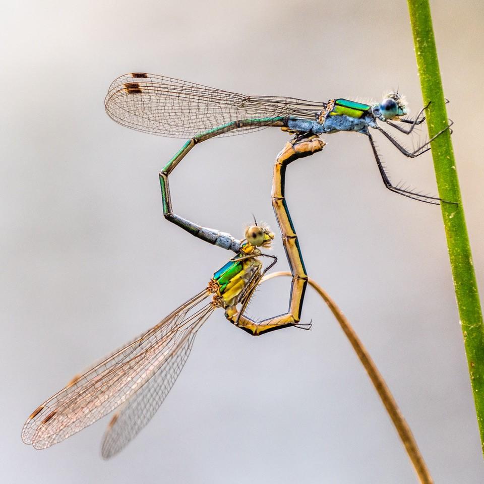 Emerald damselflies mating