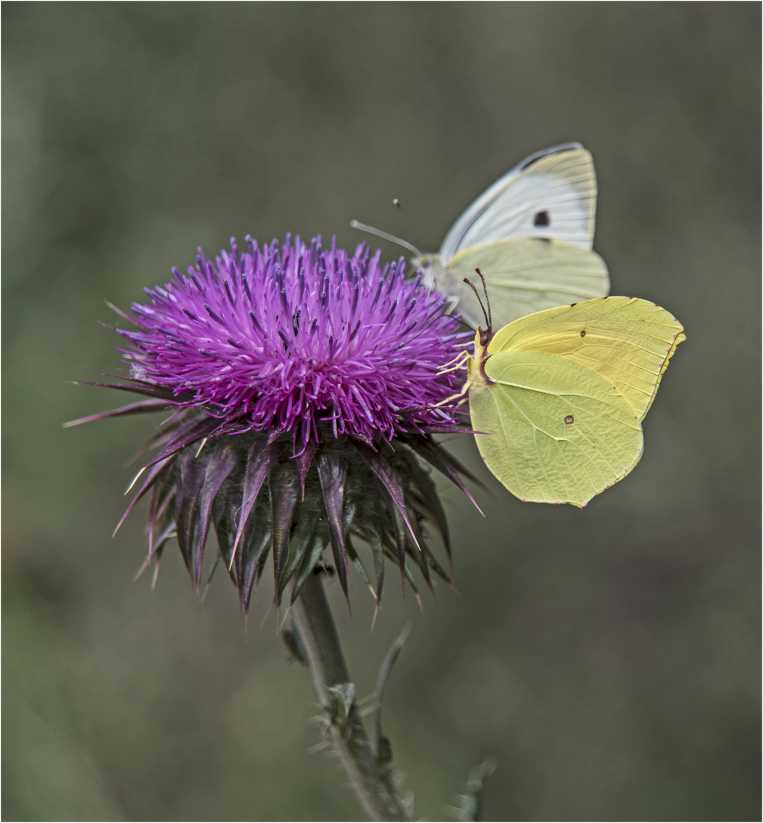 Cleopatra on thistle