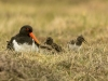 Oyster-catcher and family