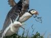 Gull mugging puffin