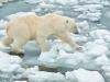 Svalbard searching for dinner