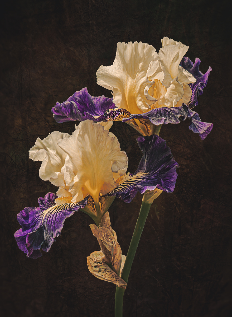 Iridaceae aubigny auld alliance