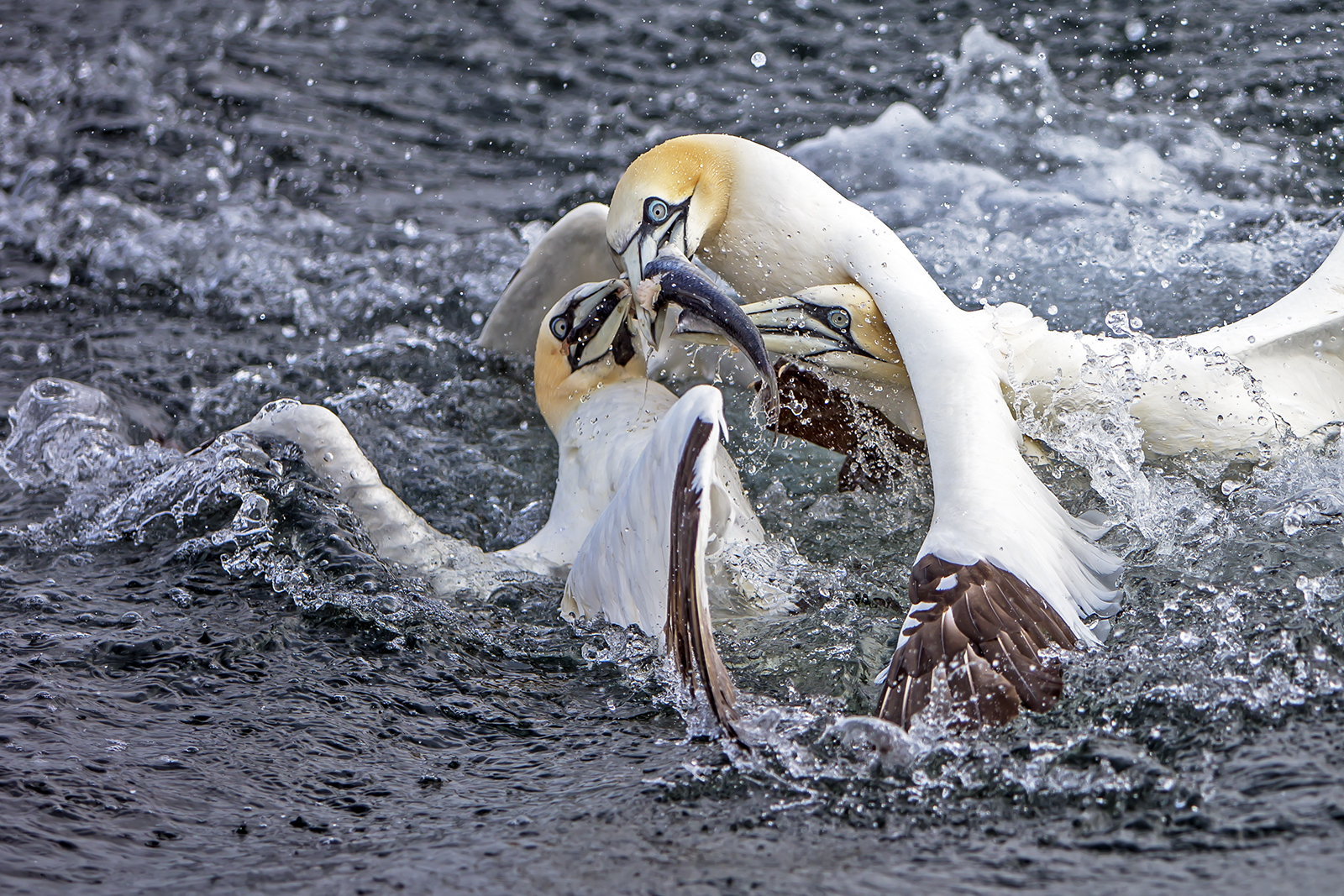 Three gannets