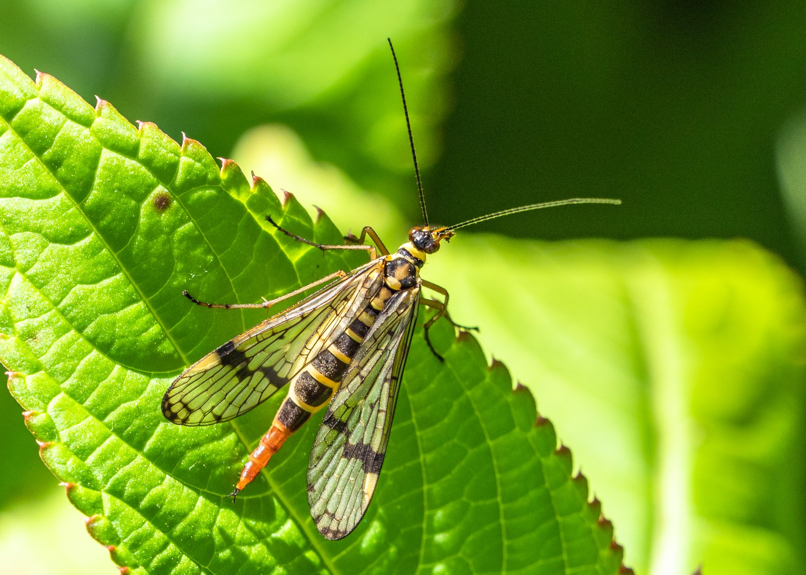 Female scorpion fly