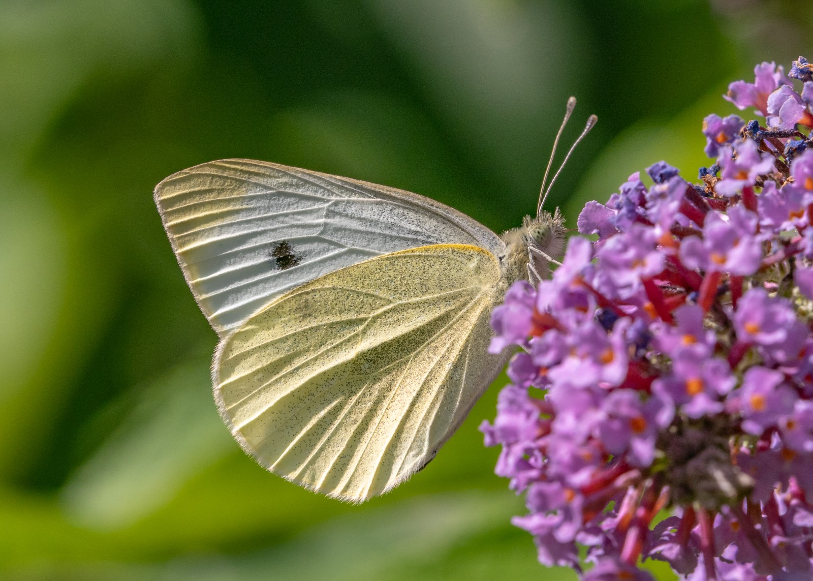 Green veined white- artogia napi