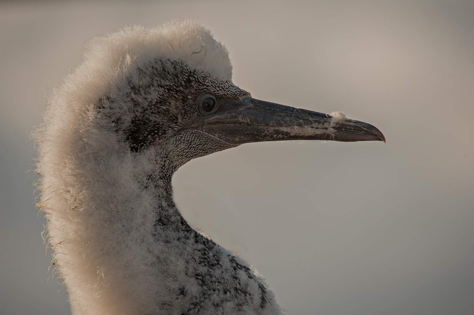 Northern gannet chick-1