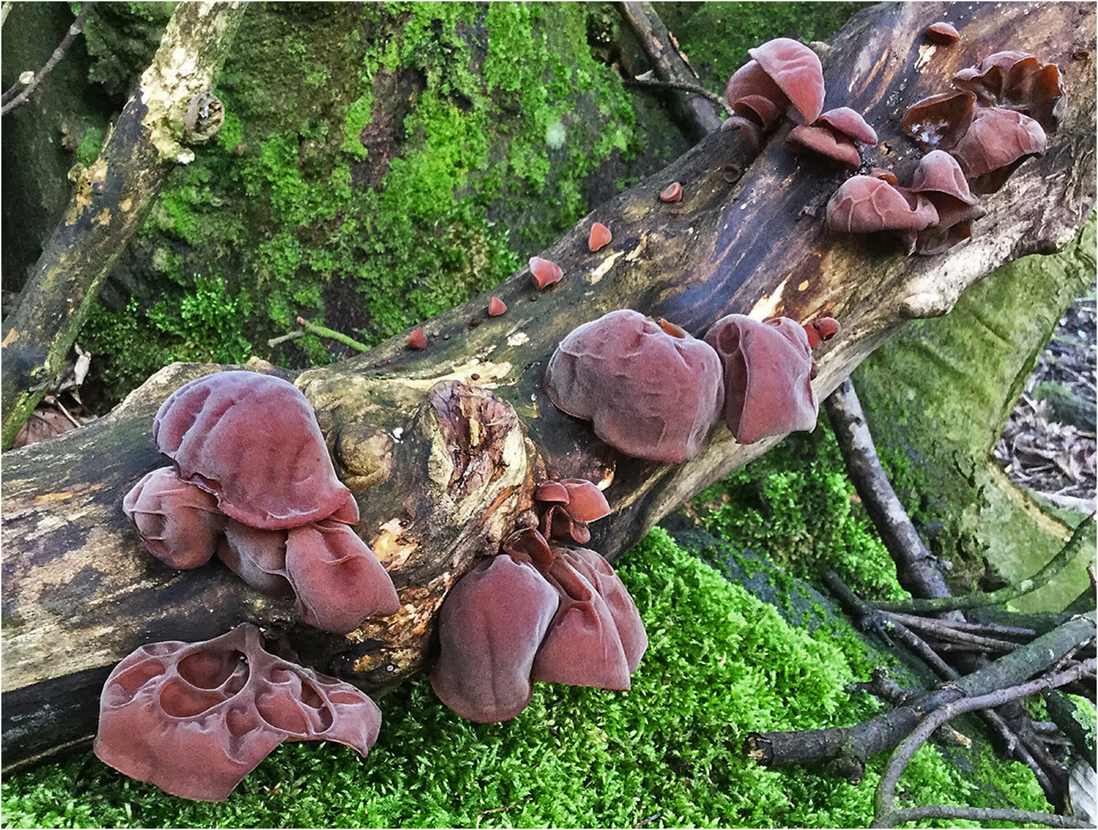Fungi 1 - judas' ear