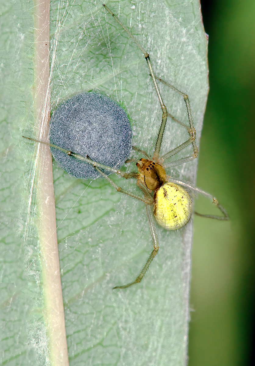 Enoplognatha ovata with egg sac-2