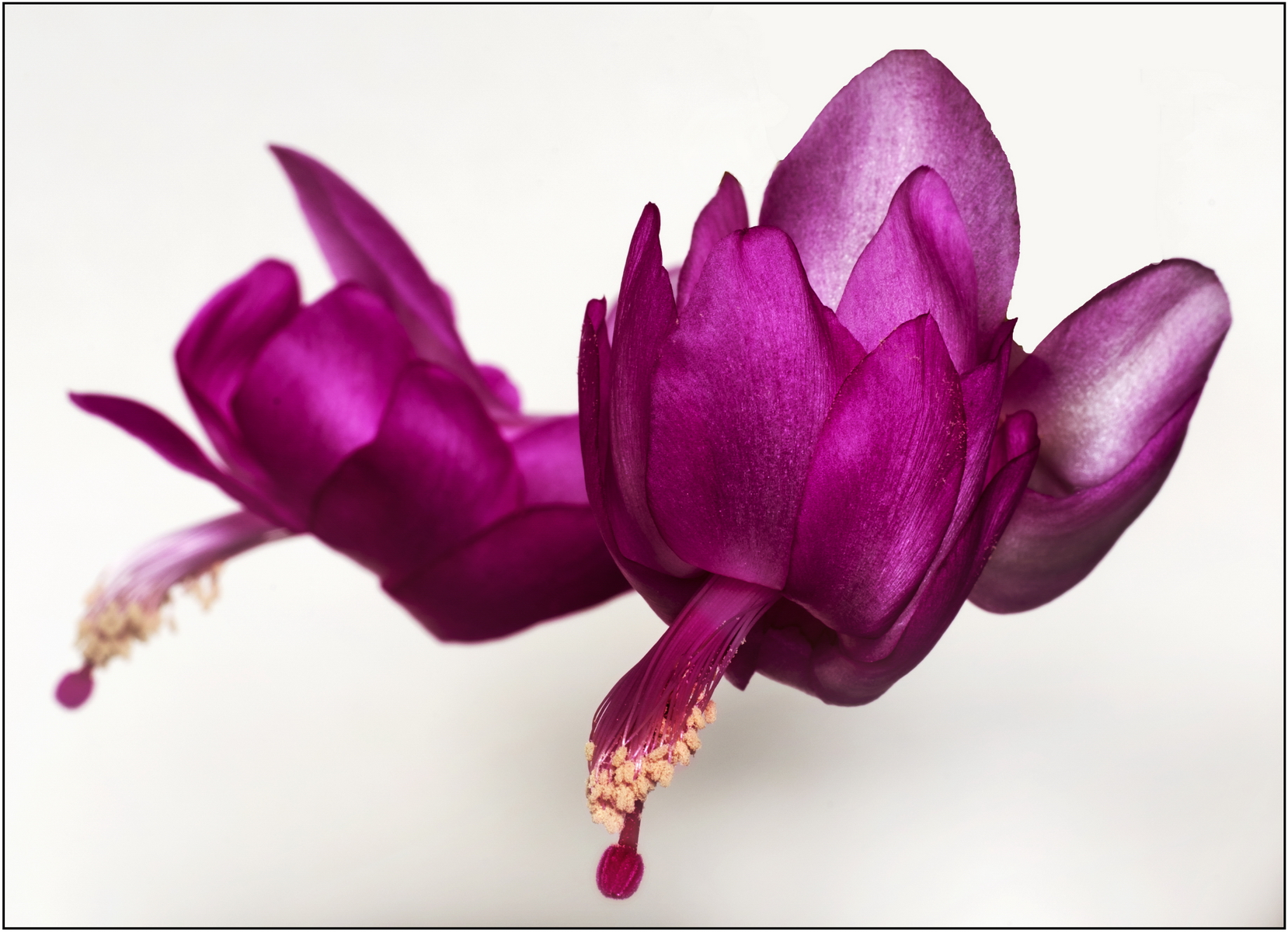 Zygo cactus flower