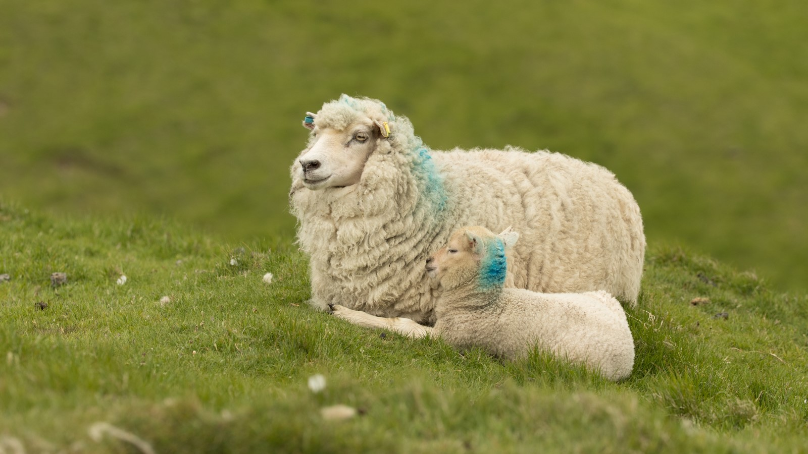 Cool sheep