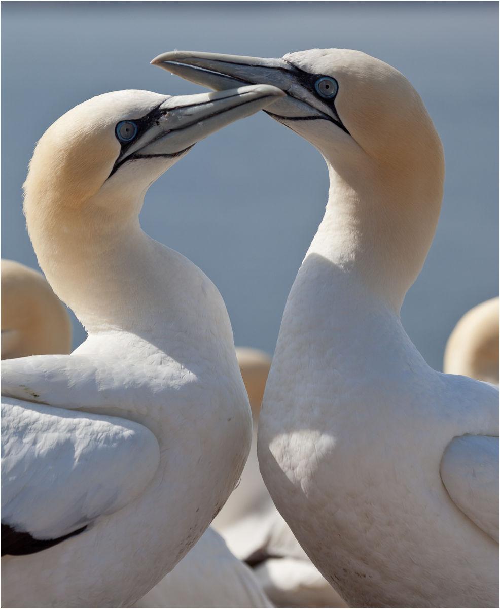 Gannet pair-4