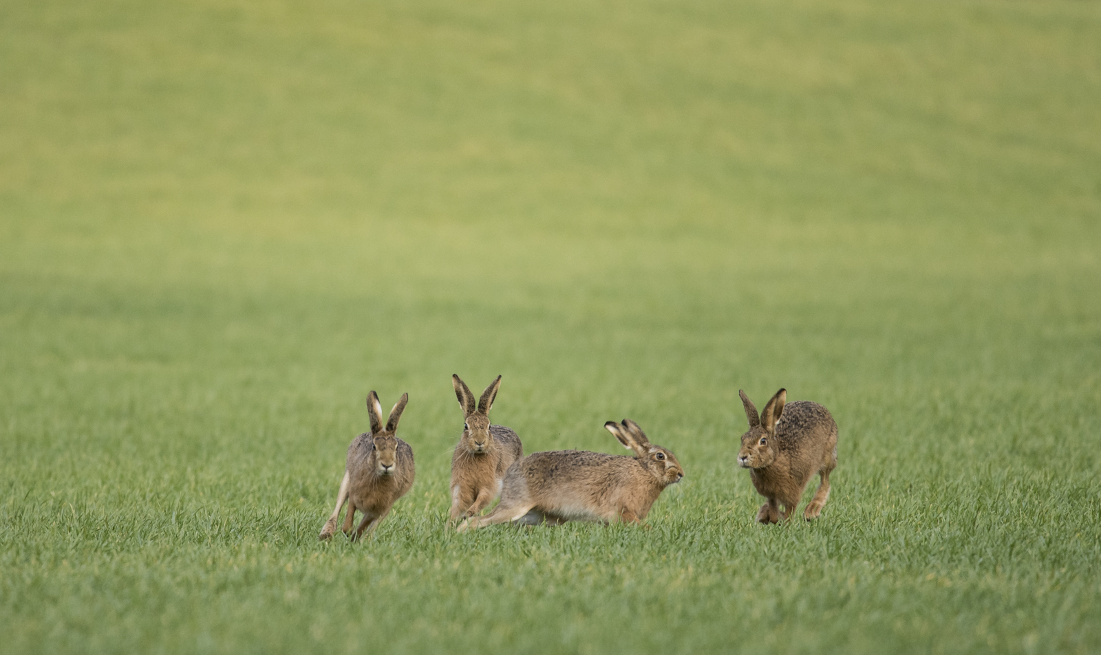 Brown hares 2