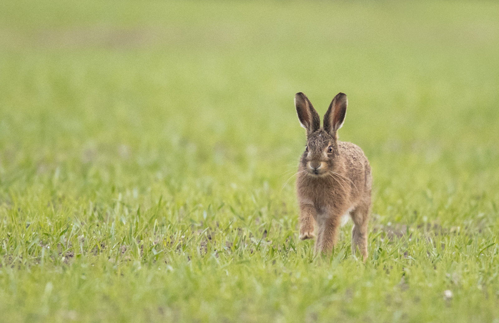 Brown hares 3