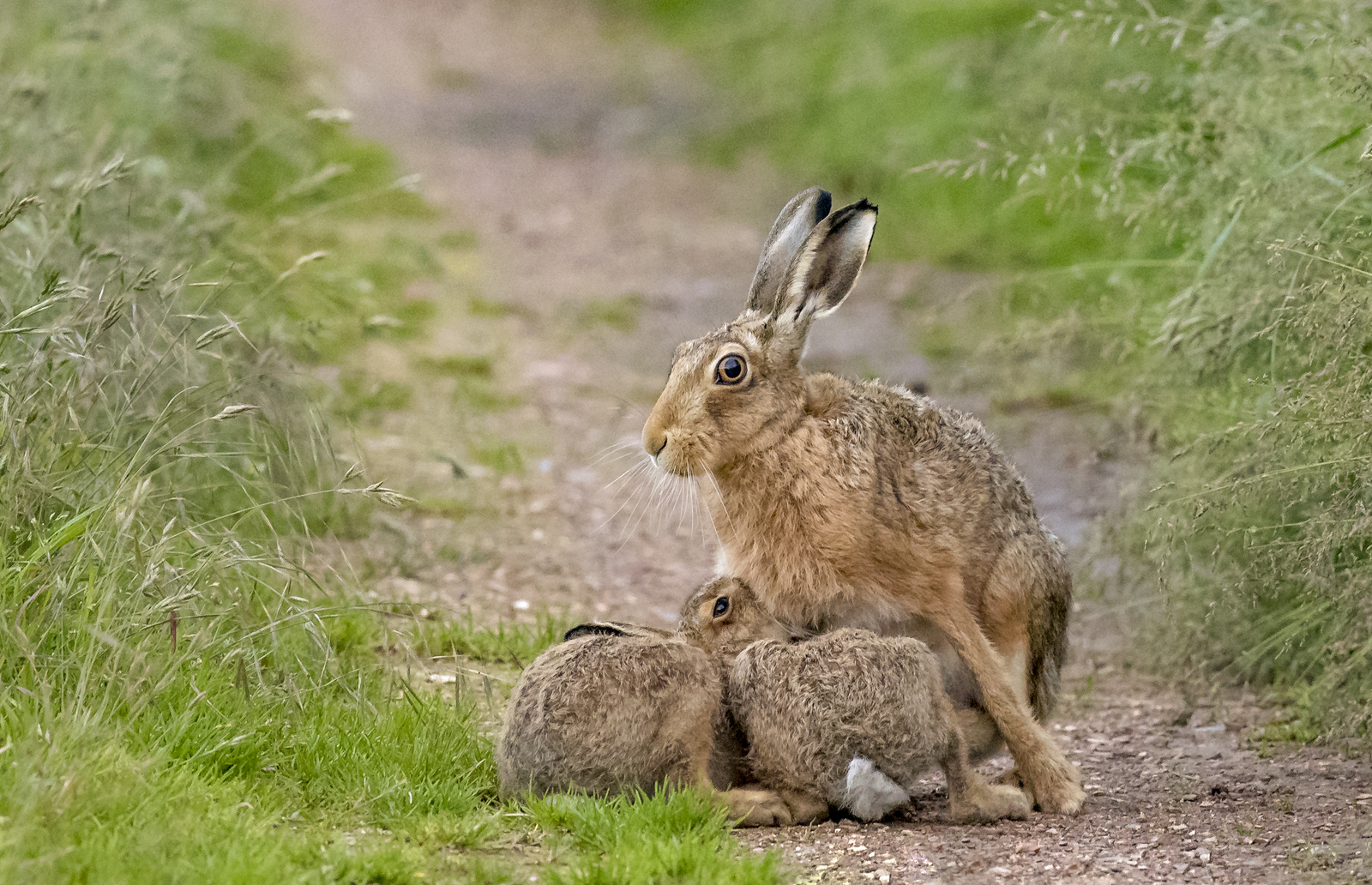 Brown hares 4