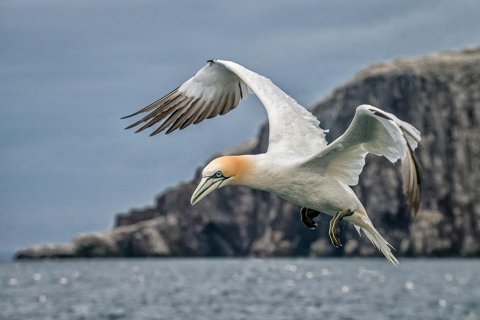 Northern gannet-2