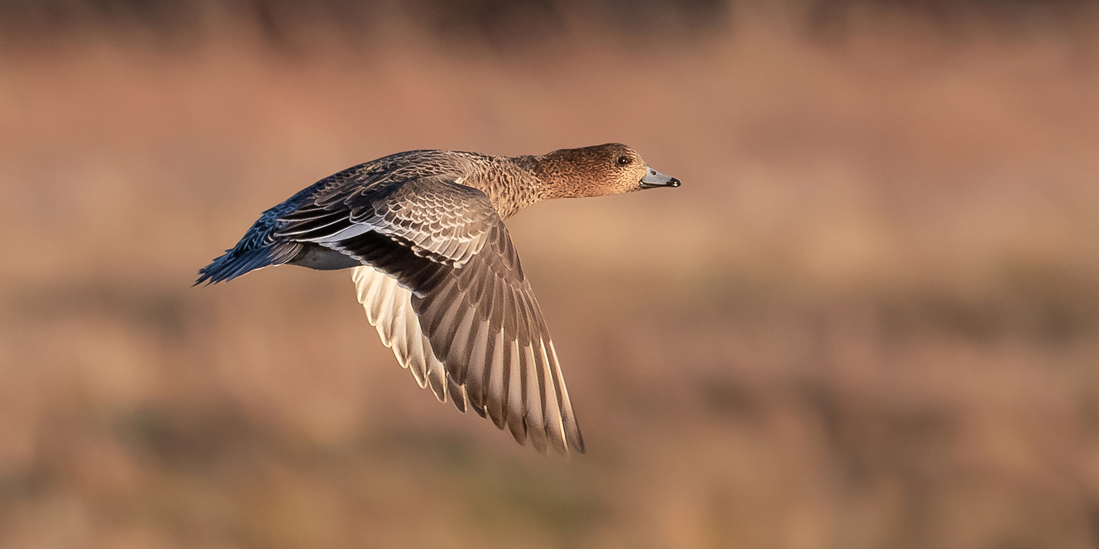 Teal in flight-1