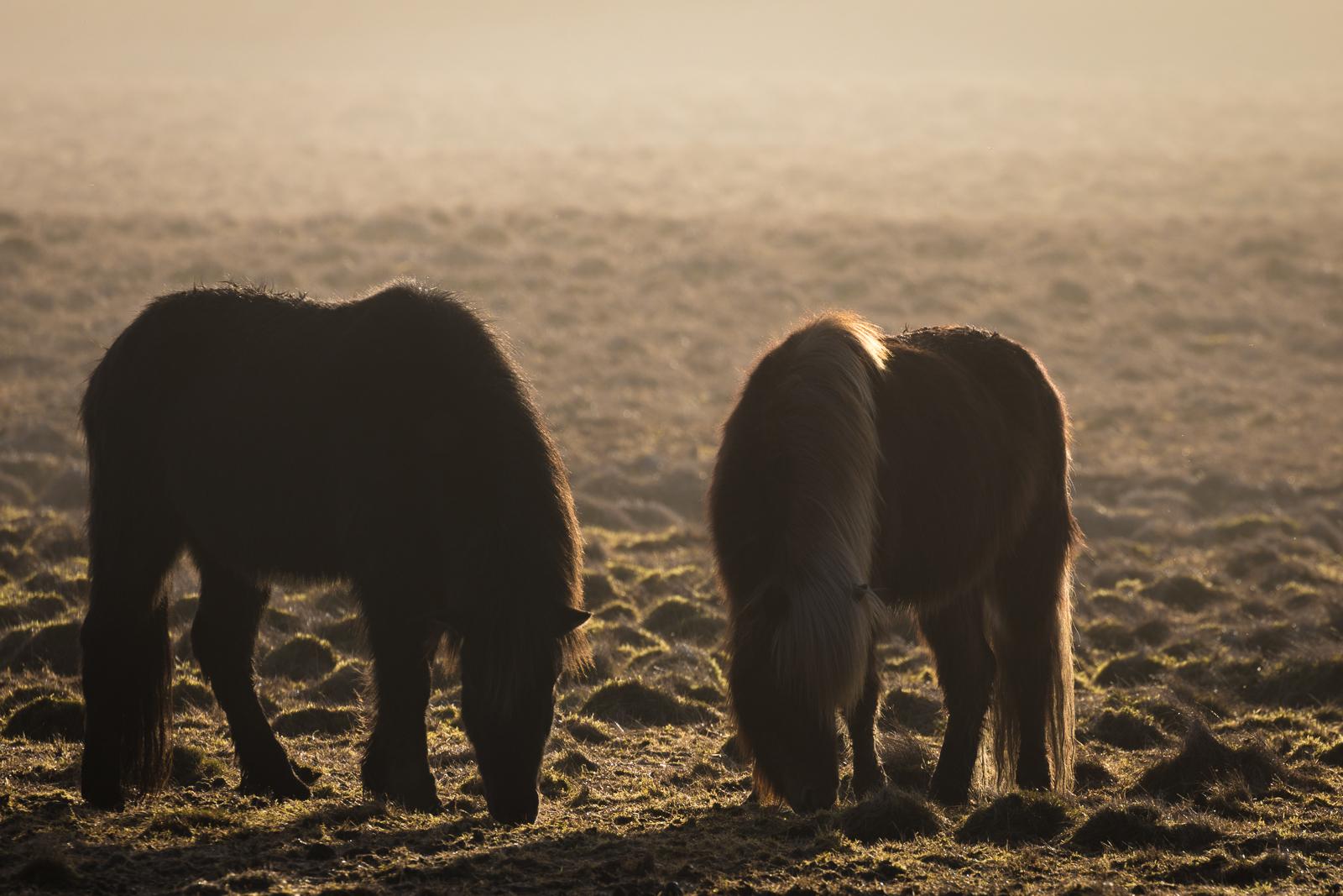 Iceland - backlit icelandic horses-2