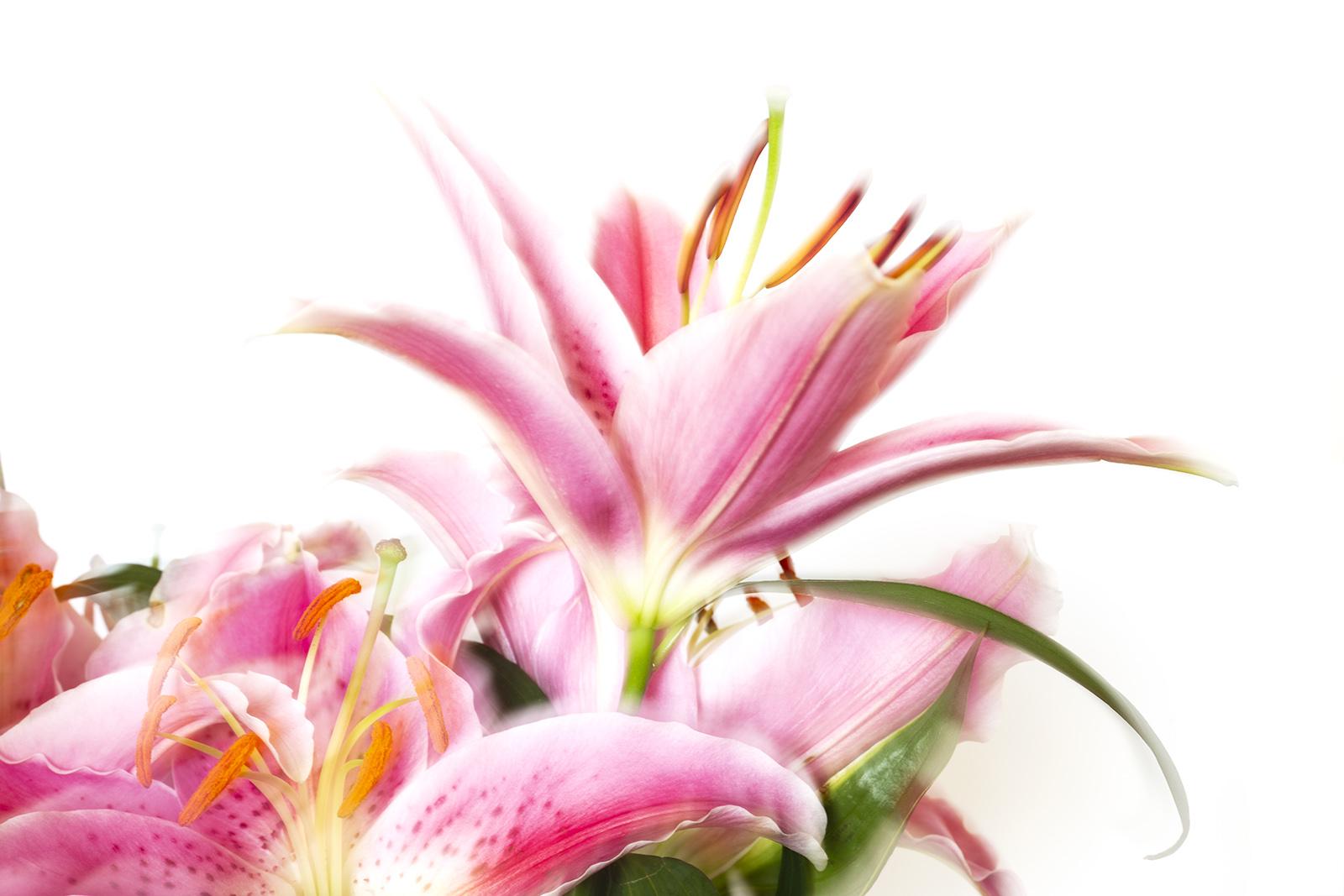 Dreamy lilies