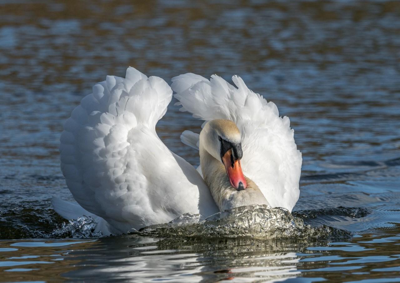 1-The swan