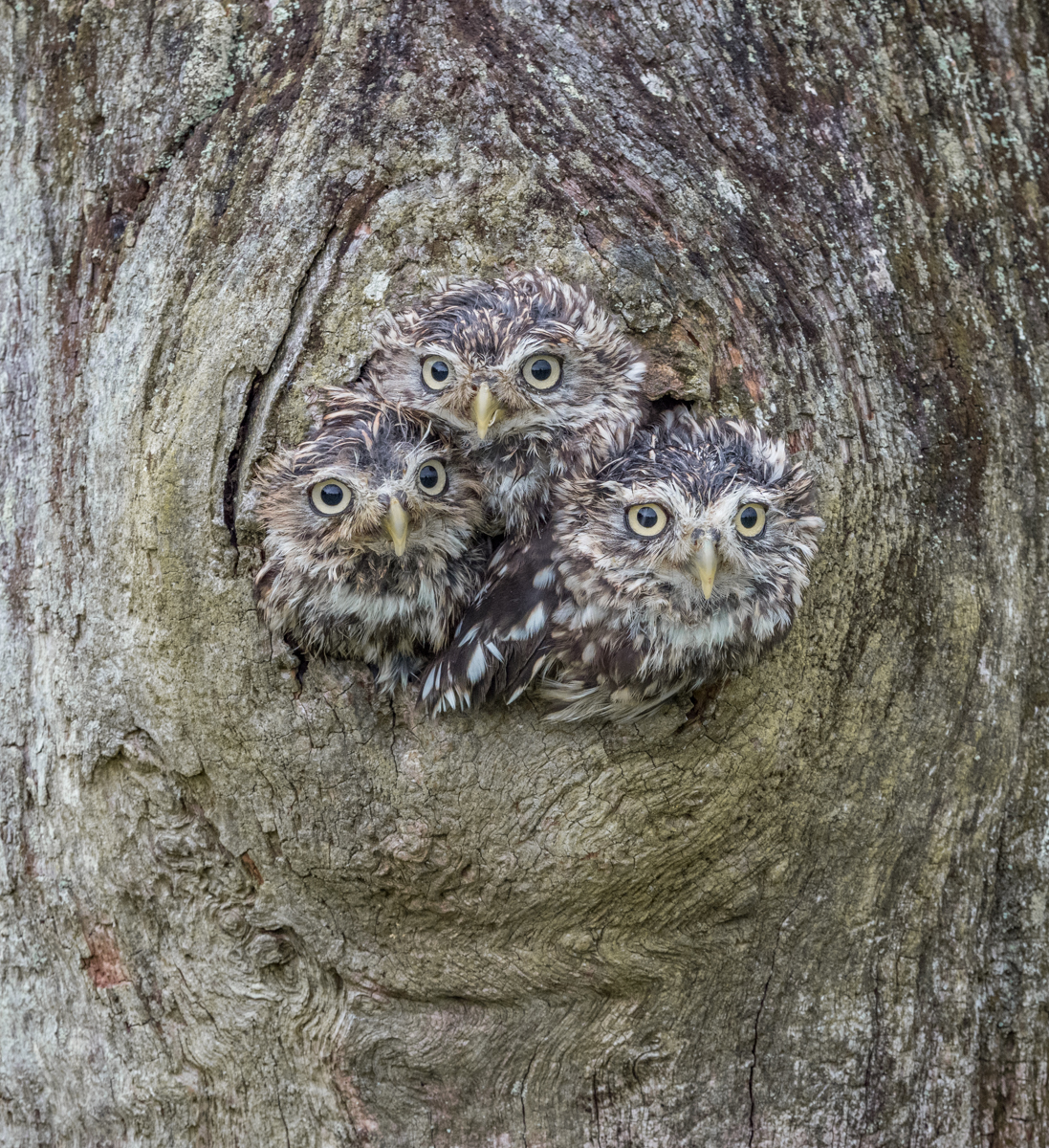 3-Three little owls