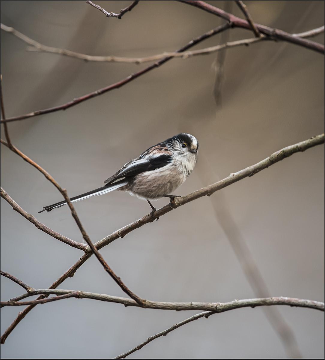 3-Longtail tit