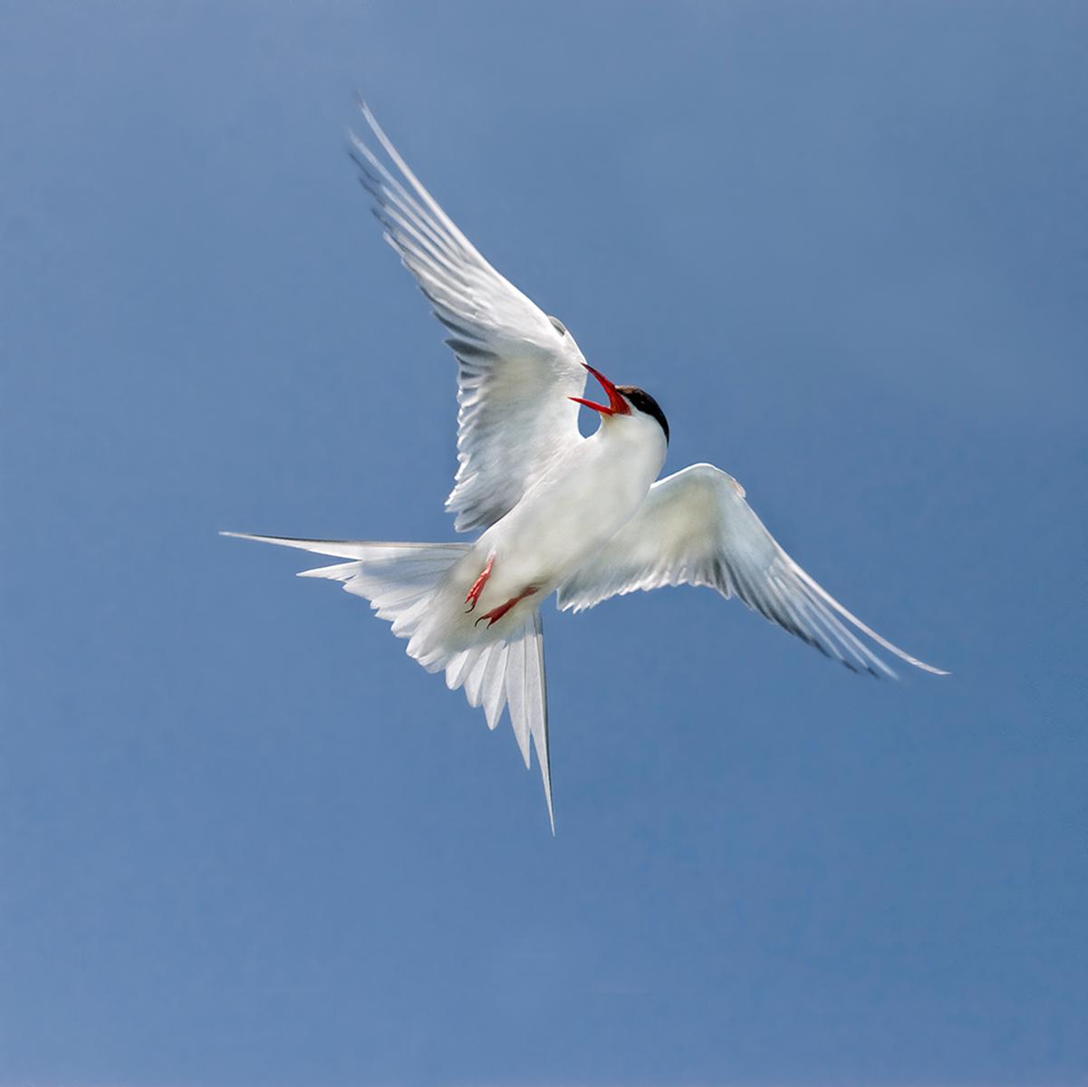 4. Arctic tern