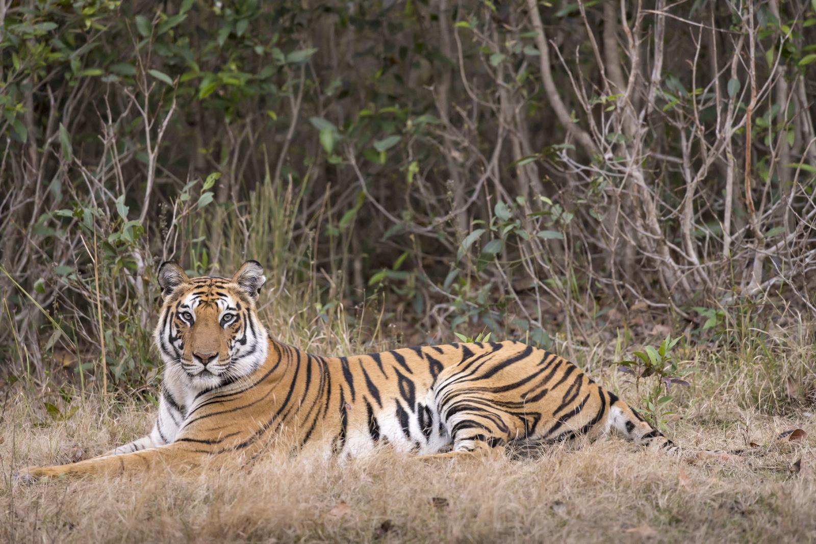 1-Wild tigers of india
