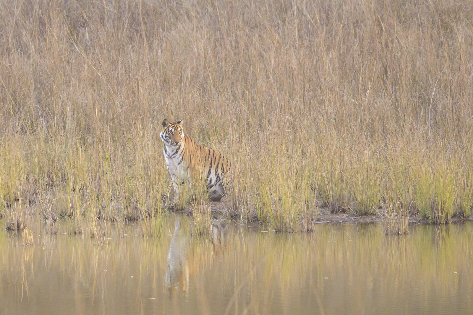 2-Wild tigers of india
