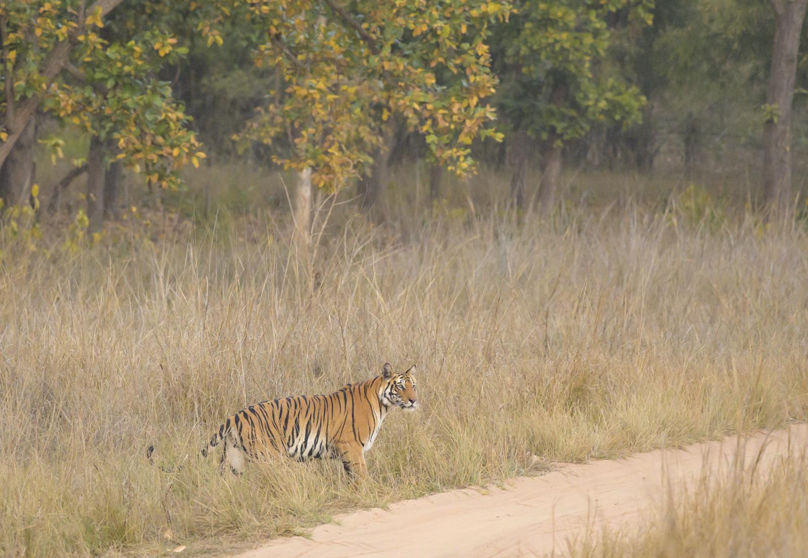 3-Wild tigers of india