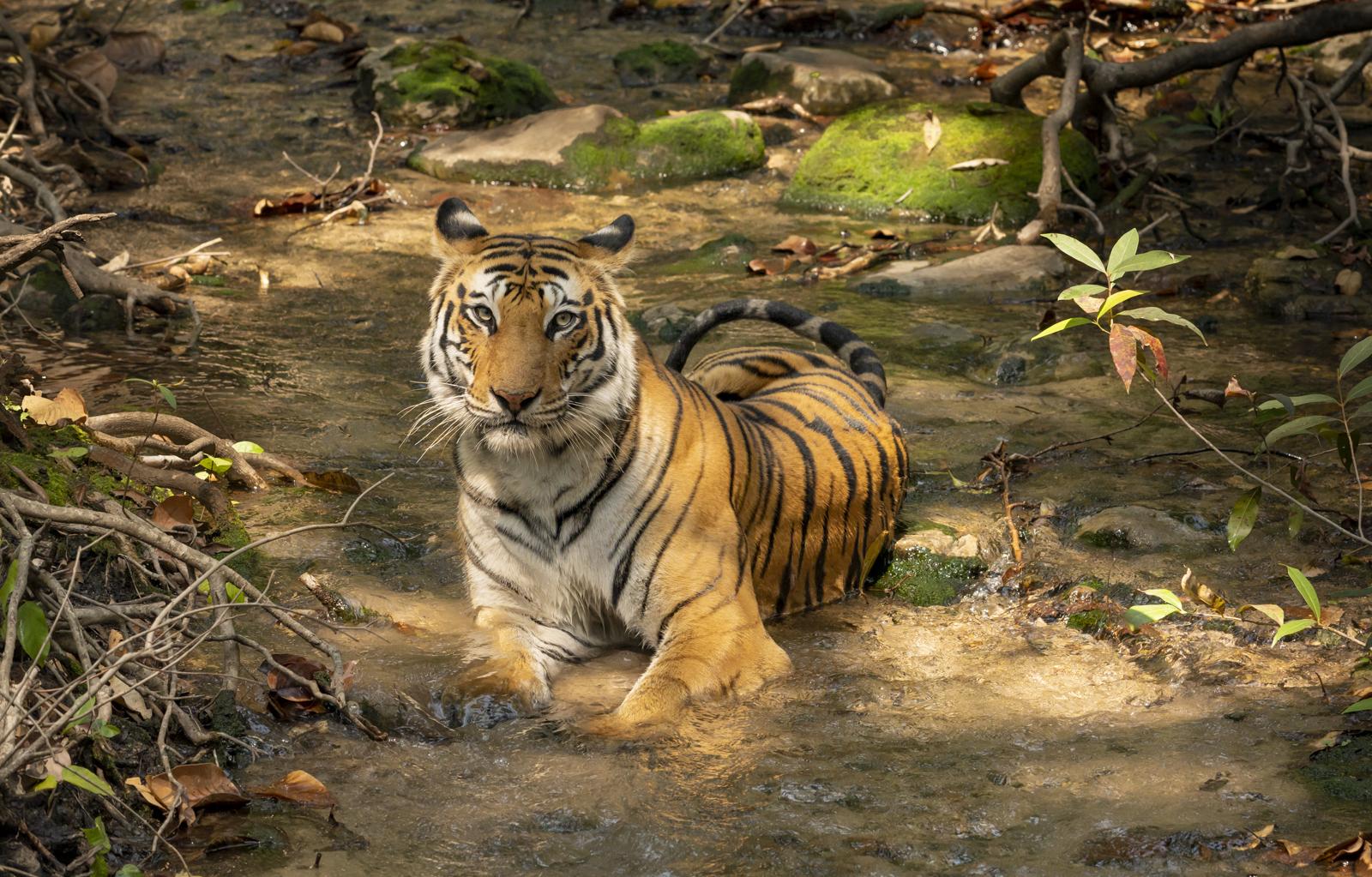 4-Wild tigers of india