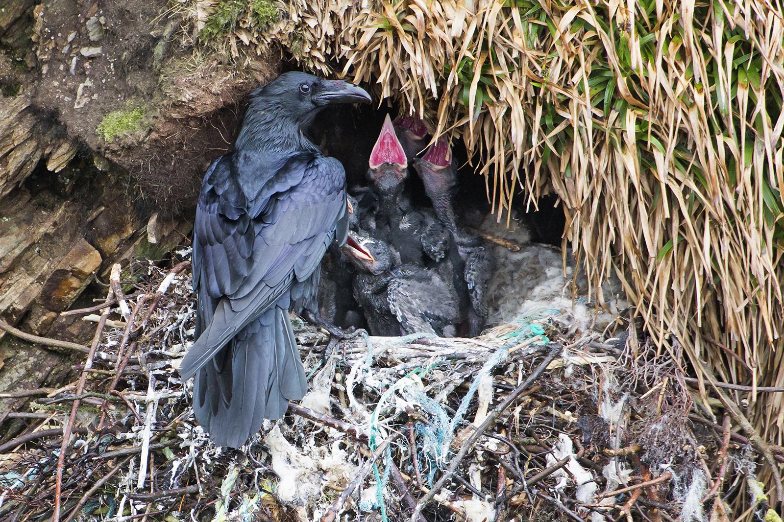 3 Raven at nest