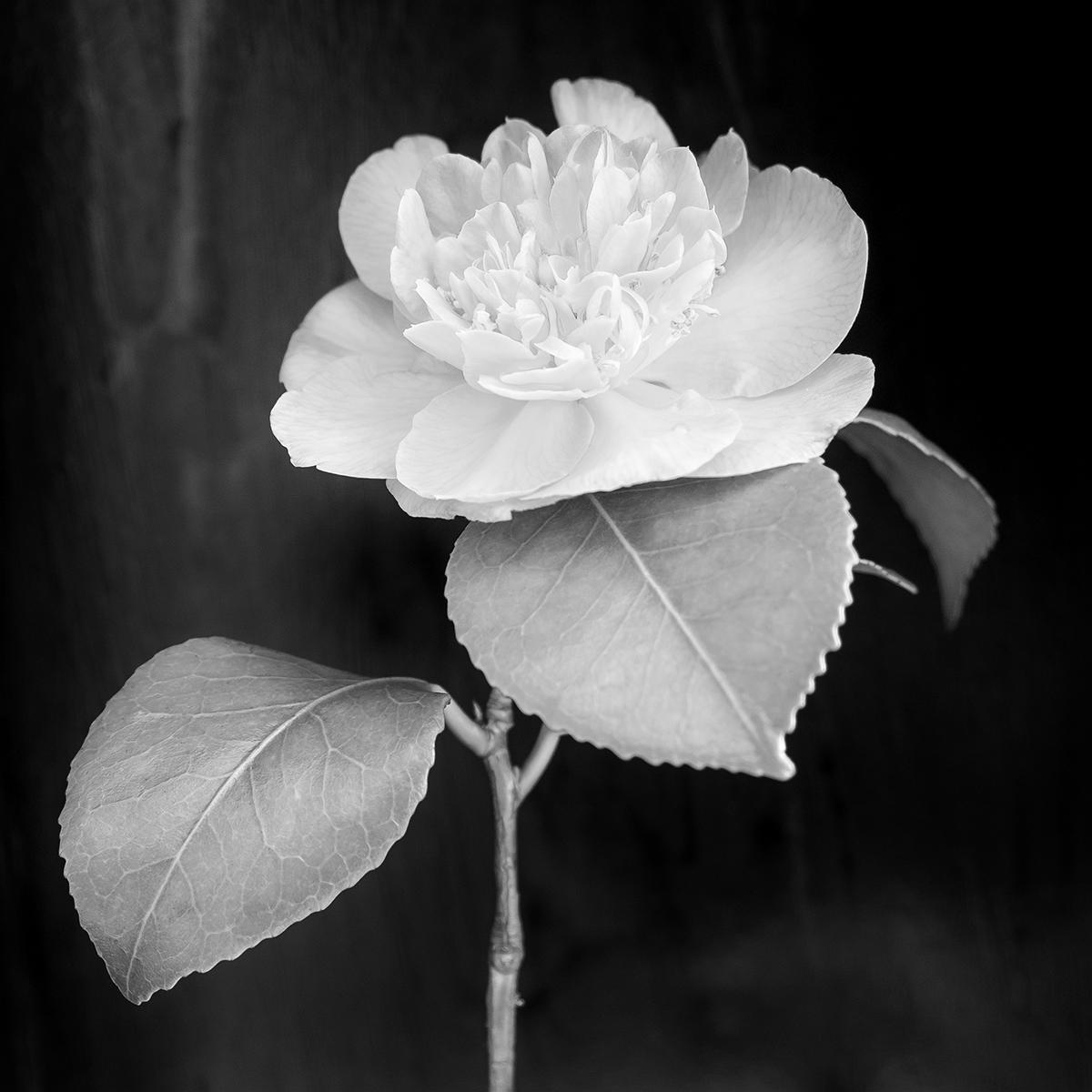 2-Camellia