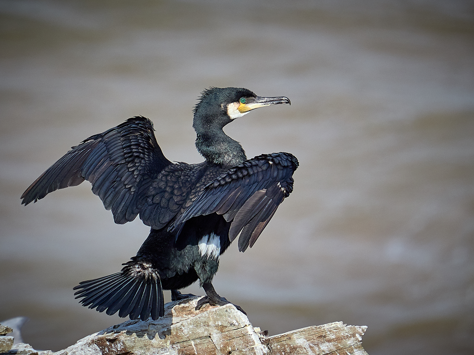 2-Drying-forvie cormorants