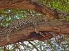 1_l2_1084_leopard