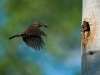 American Wren Returning to Nest by Peter Paterson