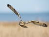 Short Eared Owl by Jim Moir