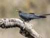 Cuckoo Tossing Grub