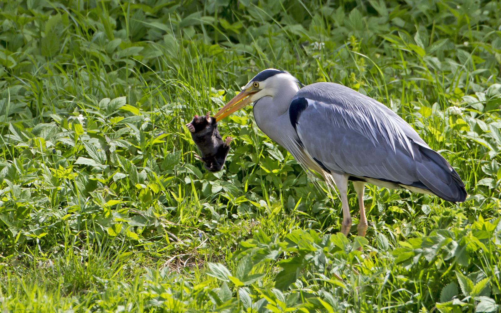 Heron vs mole