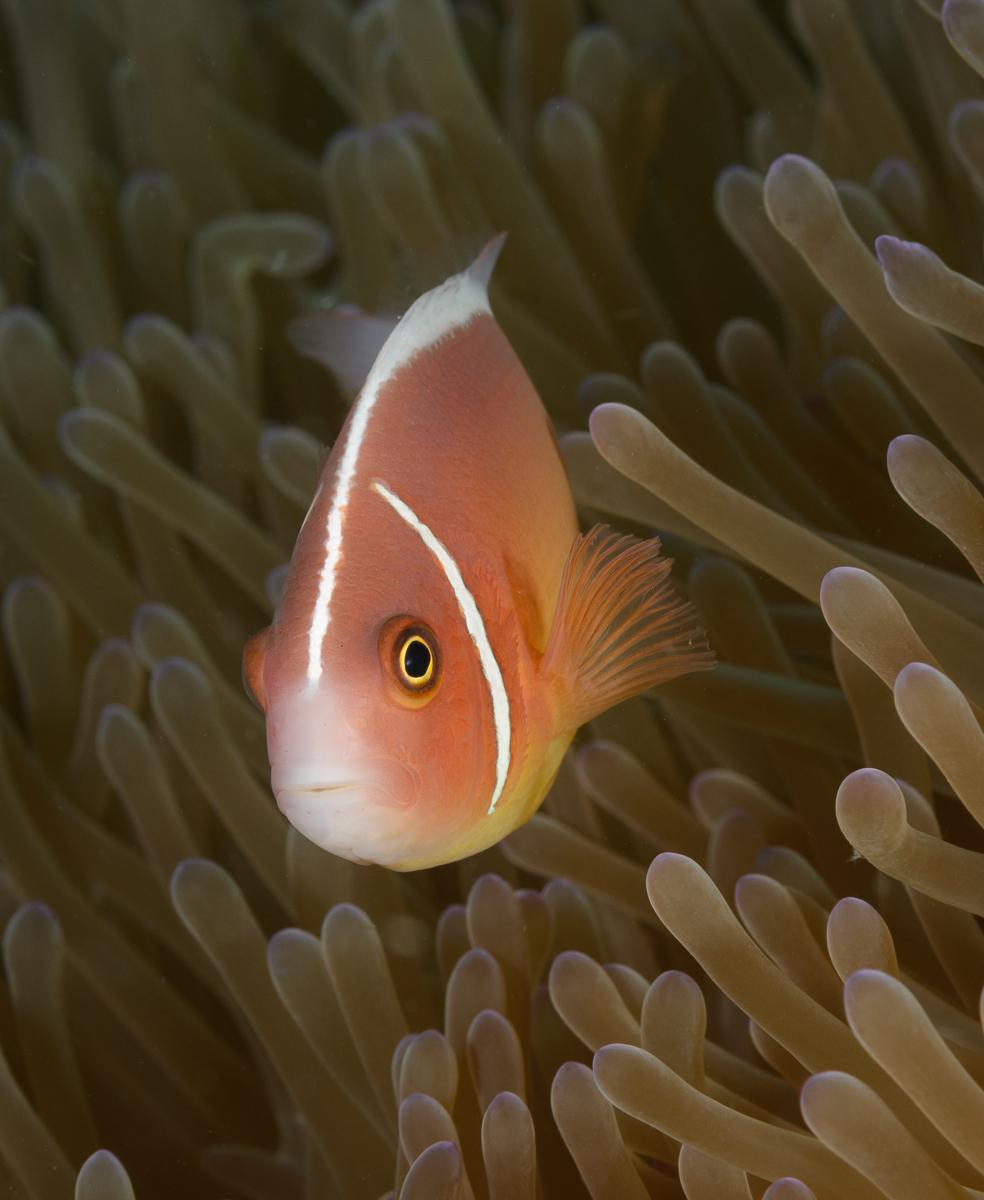Pink anemone fish and anemone