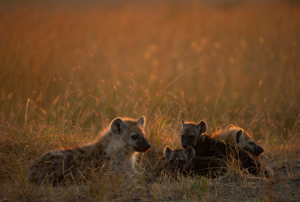 Hyenas at Dawn