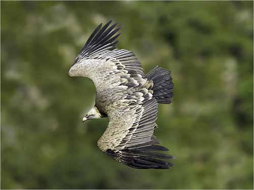 10_Griffon Vulture