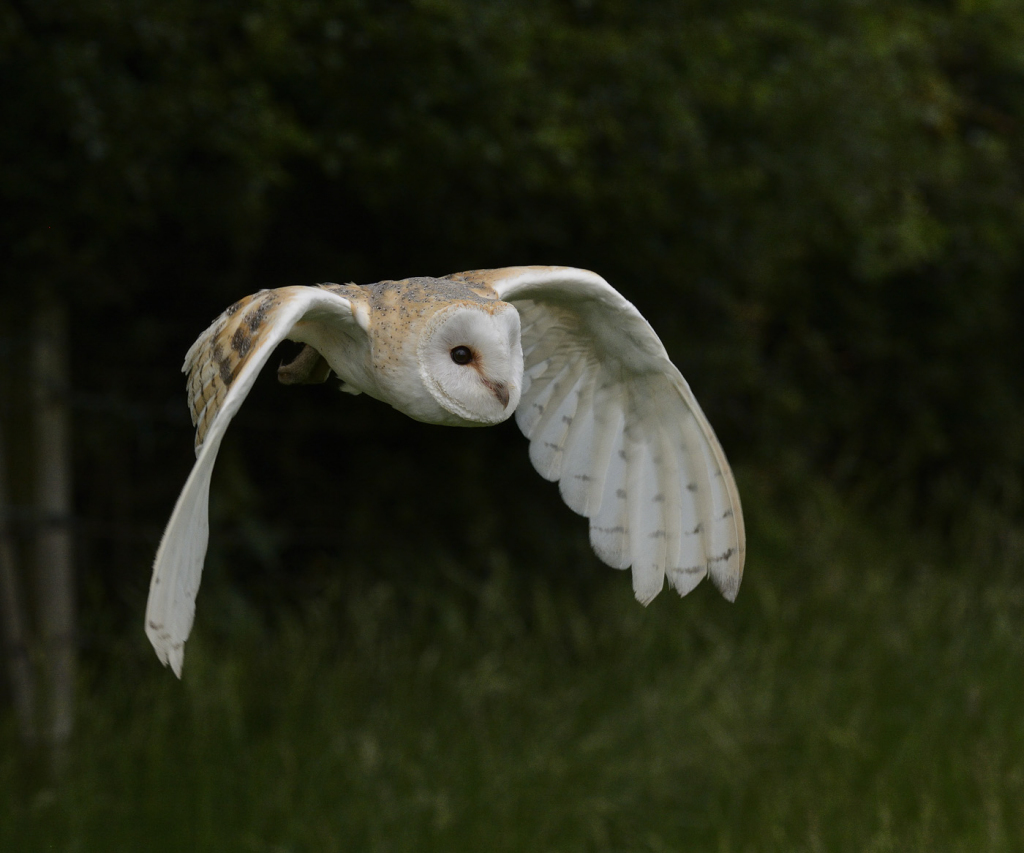 Barn Owl by Jim Moir