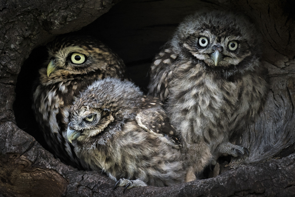 Three Little Owls by Jim Moir