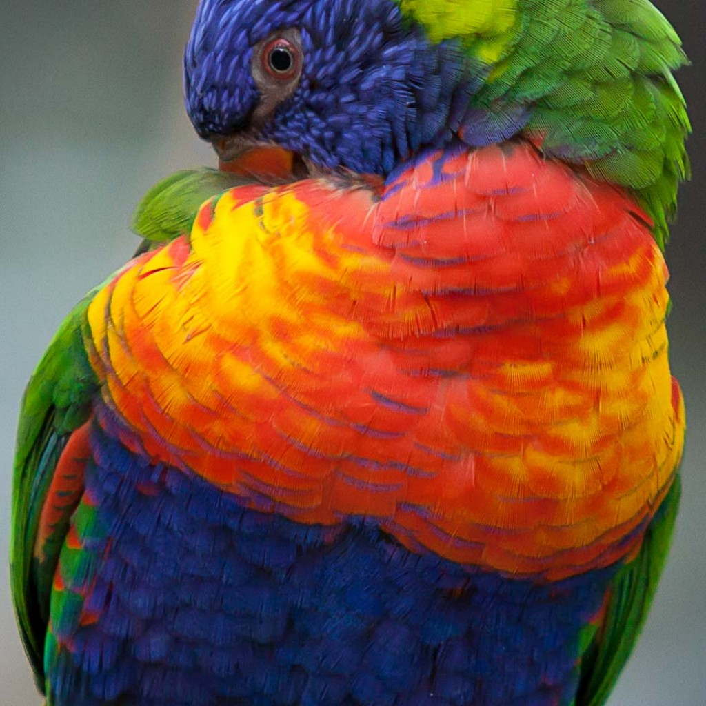 """Rainbow Lorikeet"" by Doug Berndt"
