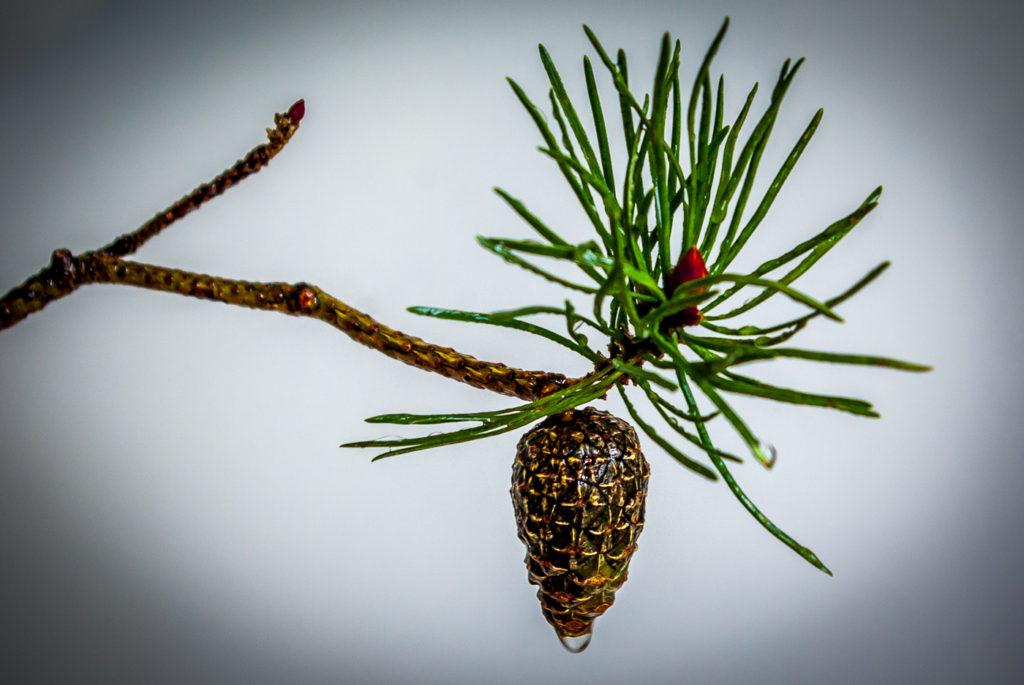 """Pine Cone"" by Nigel Gillard"